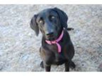 Adopt Shy a Black Labrador Retriever / Mixed dog in Newton, KS (24303424)