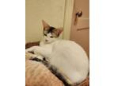 Adopt Art a White (Mostly) Domestic Shorthair / Mixed cat in Woodlake