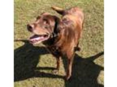 Adopt Reacher a Chocolate Labrador Retriever