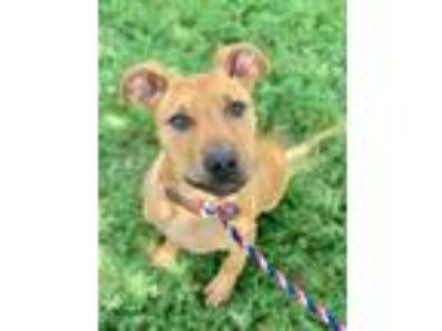 Adopt Troy a Retriever, Mixed Breed
