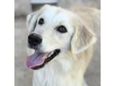 Adopt Louis Tomlinson a Tan/Yellow/Fawn Golden Retriever dog in Huntsville