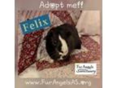 Adopt Felix a Black Guinea Pig (short coat) small animal in Aurora