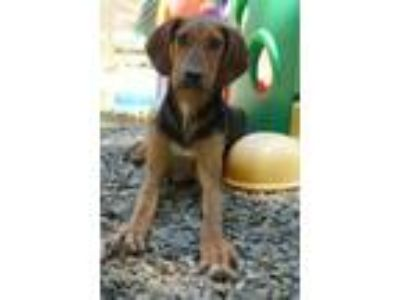 Adopt Elvis a Black and Tan Coonhound