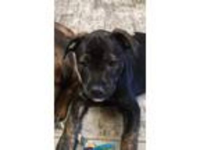 Adopt Harlow a Boxer, Pit Bull Terrier