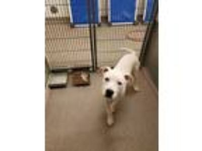 Adopt Beric a White American Staffordshire Terrier / Mixed dog in Louisburg
