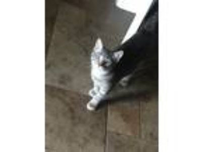 Adopt Bae a Gray or Blue American Shorthair / Mixed cat in Mont Belvieu