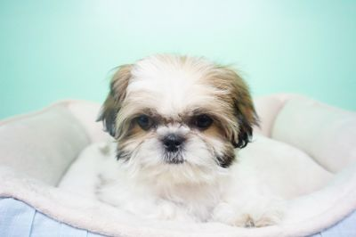 Shih Tzu PUPPY FOR SALE ADN-103540 - Shihtzu Male Hamilton