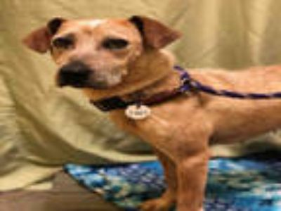 Adopt HAILEY a Tan/Yellow/Fawn - with White Jack Russell Terrier / Mixed dog in
