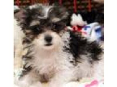 Adopt Tammy a Terrier, Poodle