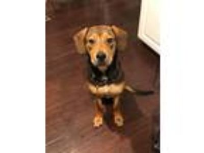 Adopt Frankie a Brown/Chocolate - with Tan Shepherd (Unknown Type) / Hound