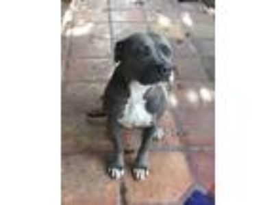 Adopt Fiona a Gray/Silver/Salt & Pepper - with White American Pit Bull Terrier /