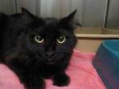 Adopt NINJA a All Black Domestic Mediumhair / Mixed (medium coat) cat in