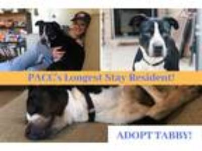 Adopt TABITHA a Black - with White American Pit Bull Terrier / Mixed dog in