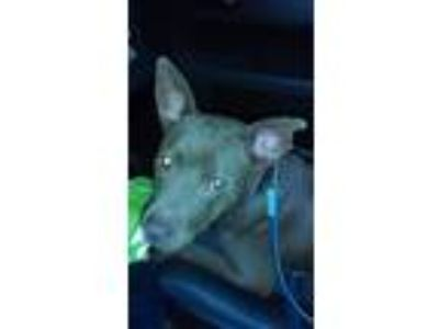 Adopt Coco a Brown/Chocolate Labrador Retriever / Pit Bull Terrier / Mixed dog