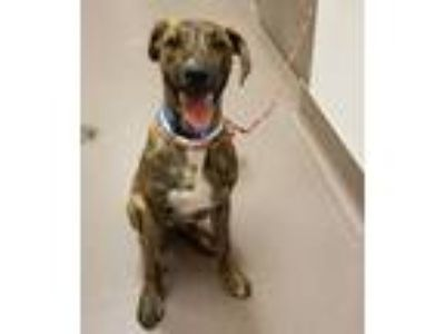 Adopt 12241 a Pit Bull Terrier / Mixed dog in Norman, OK (25323572)