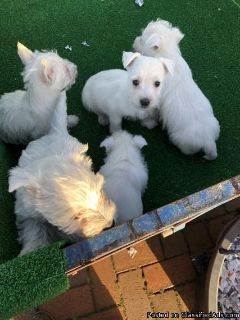 Enchanting West Highland terrier Puppies