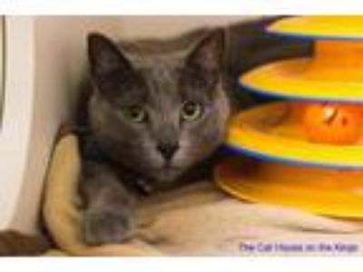Adopt Theo a Russian Blue