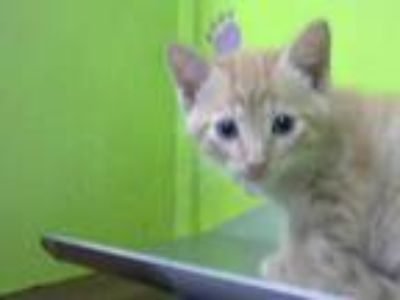 Adopt LOUIE a Orange or Red Tabby Domestic Shorthair / Mixed (short coat) cat in