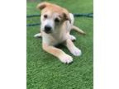 Adopt Chessman Spice Tyler a White Shepherd (Unknown Type) / Labrador Retriever