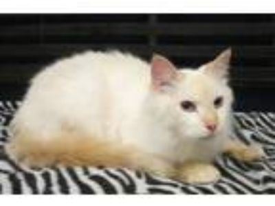 Adopt Snowball a Tan or Fawn Siamese (long coat) cat in Georgetown