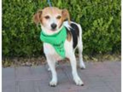 Adopt AL a White - with Brown or Chocolate Beagle / Mixed dog in Las Vegas