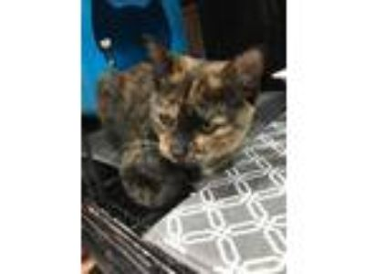 Adopt Cally a Tortoiseshell Domestic Shorthair (short coat) cat in Monroe