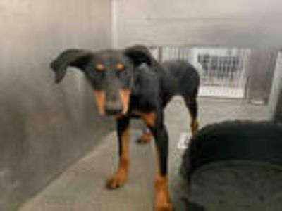 Adopt SHADOW a Black - with Brown, Red, Golden, Orange or Chestnut Doberman