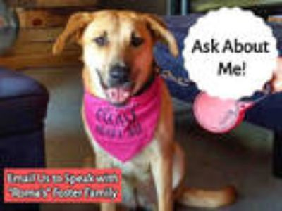 Adopt ROMA a Red/Golden/Orange/Chestnut Labrador Retriever / Mixed dog in Texas