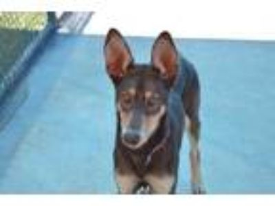 Adopt Roxy a Brown/Chocolate Doberman Pinscher / Shepherd (Unknown Type) / Mixed