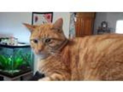 Adopt Kate a Orange or Red Tabby Domestic Shorthair / Mixed cat in Hominy
