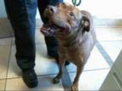 Adopt GATOR a Brown/Chocolate American Pit Bull Terrier / Mixed dog in