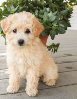 Puppy - For Sale Classifieds in Jersey City, New Jersey