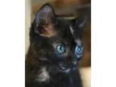 Adopt Fritter a Tortoiseshell Domestic Shorthair / Mixed (short coat) cat in San