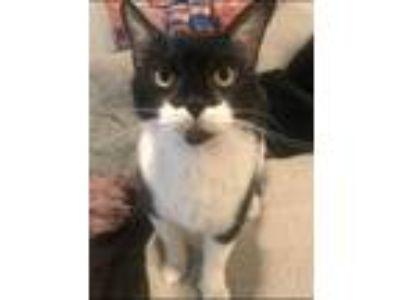 Adopt Milkstache a Black & White or Tuxedo Domestic Shorthair (short coat) cat