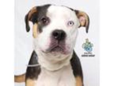 Adopt Gigi a White - with Tan, Yellow or Fawn Pit Bull Terrier dog in Knoxville