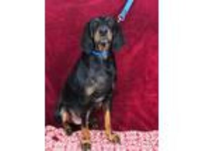 Adopt Hank a Black and Tan Coonhound