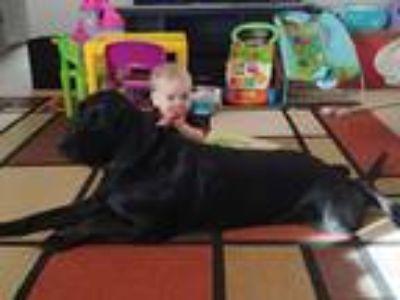 Adopt Leo a Black Labrador Retriever / Bloodhound / Mixed dog in Fort Worth
