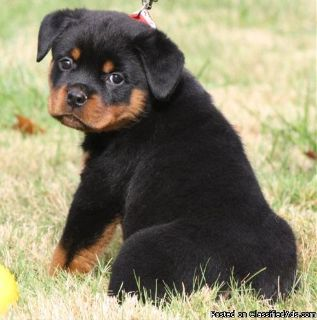 Rottweiler puppies now ready to leave!!!