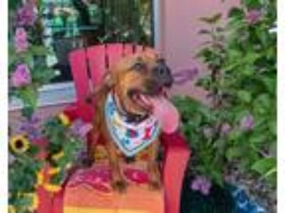 Adopt Kenzie a Boxer / Mixed dog in Golden, CO (25339479)