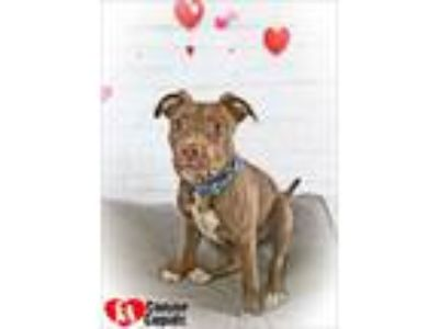 Adopt Tito a Red/Golden/Orange/Chestnut - with White American Pit Bull Terrier /