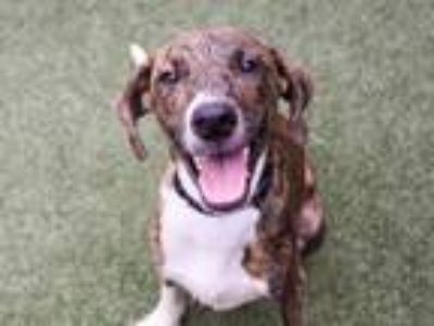 Adopt a Brindle Catahoula Leopard Dog / Labrador Retriever / Mixed dog in