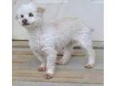 Adopt Marsha a White Poodle (Miniature) / Mixed dog in Siler City, NC (25260217)