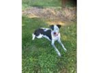 Adopt Pongo a Mixed Breed, Pointer