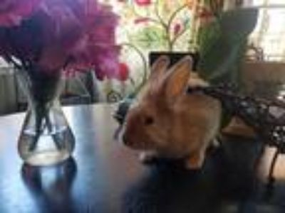 Adopt Serafina a Fawn Lionhead / Mixed rabbit in Morgan Hill, CA (25131621)