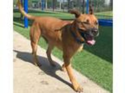 Adopt TEGON a Brown/Chocolate - with Black Labrador Retriever / Mixed dog in