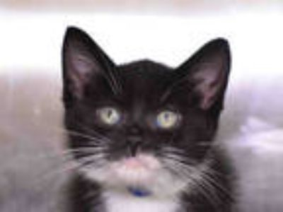 Adopt FIGARO a Black & White or Tuxedo Domestic Shorthair / Mixed (short coat)