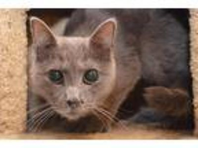 Adopt Betty a Gray or Blue Domestic Shorthair (short coat) cat in Middletown