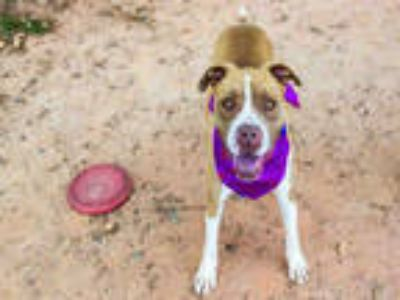 Adopt DILLINGER a Tan/Yellow/Fawn - with White Boxer / Mixed dog in York