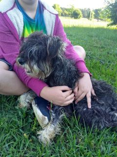 Small re-home fee for Schnauzer