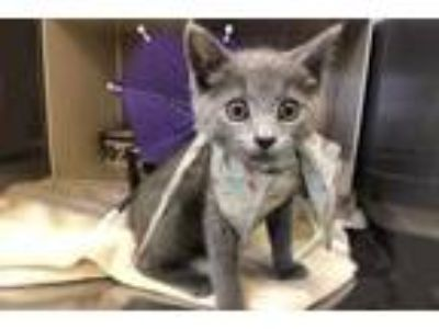 Adopt Haze a Gray or Blue Domestic Shorthair / Domestic Shorthair / Mixed cat in